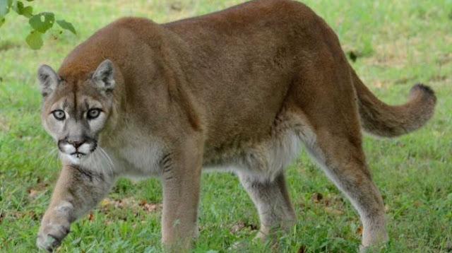 Runner chokes mountain lion to death (DETAILS)