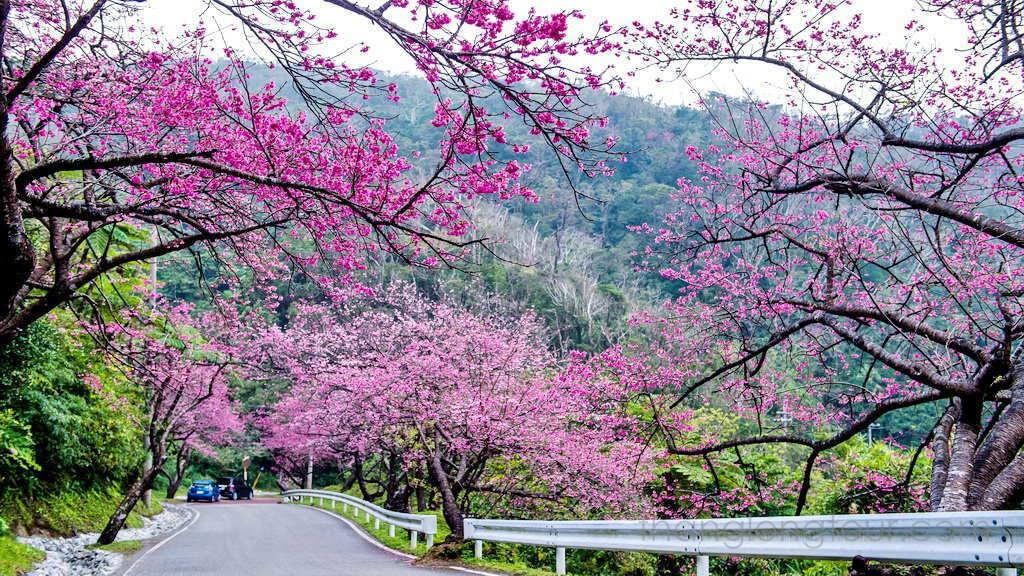 Kết quả hình ảnh cho Sẽ tổ chức Ngày hội hoa Anh đào Tuyền Lâm - Đà Lạt năm 2018