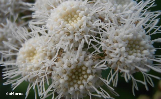 Flores de ESPUMILLA Ageratina adenophora