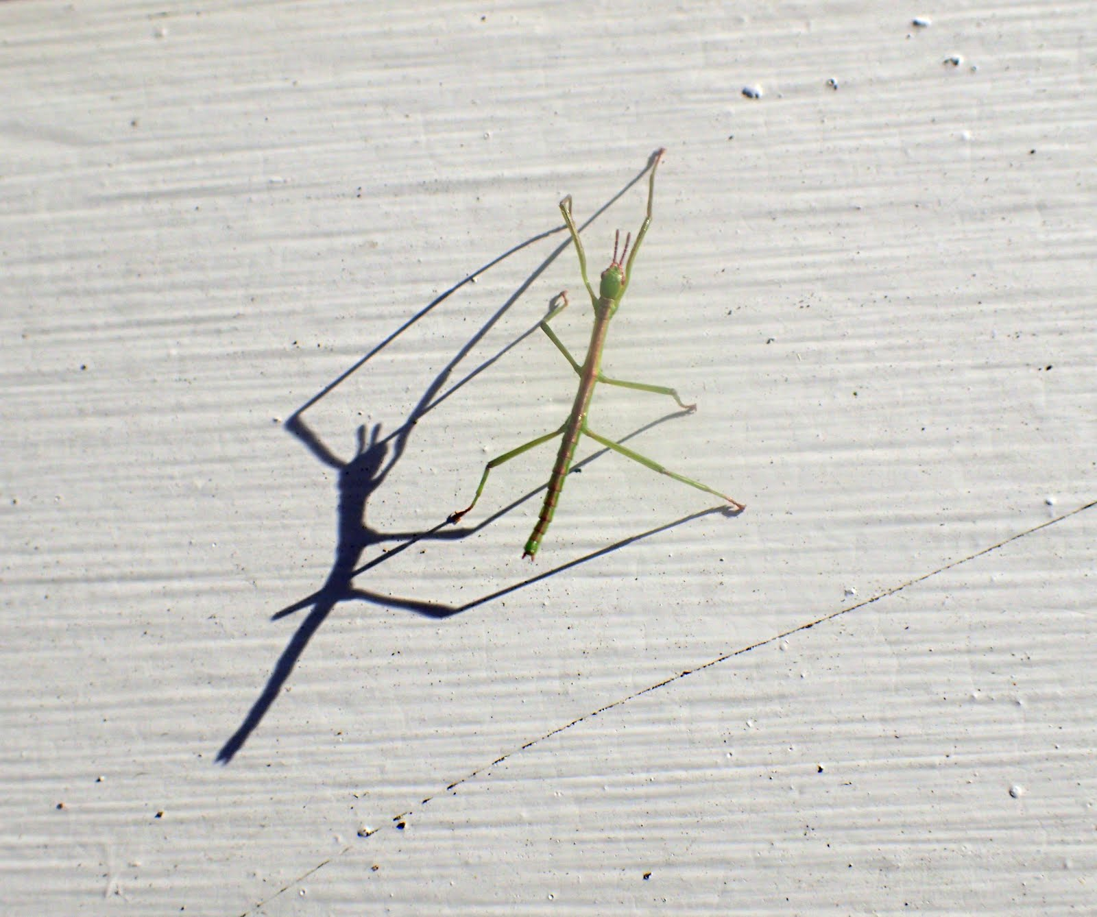 Baby stick insect heading up the house in the late afternoon