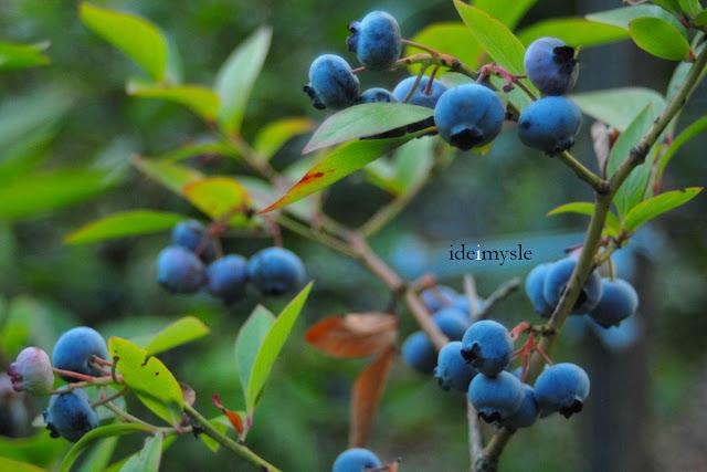 borówki, borówka amerykańska, krzewy owocowe