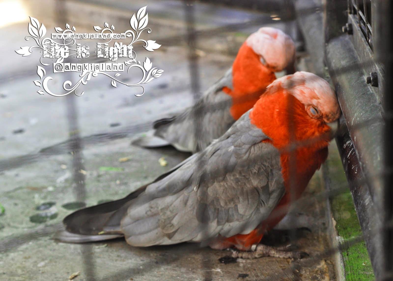 burung galau Gembiraloka