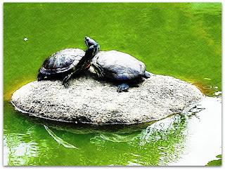 Tartarugas do Lago do Parque Moinhos de Vento