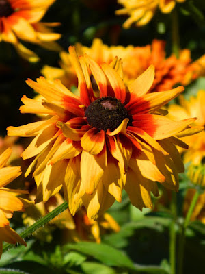 Tiger Eye Rudbeckia hybrid at Edwards Gardens by garden muses-not another Toronto gardening blog