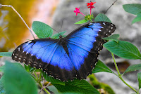 http://www.top10-facts.com/2018/03/blue-morpho-butterfly.html