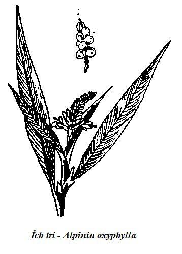 Hình vẽ Ích trí - Alpinia oxyphylla - Nguyên liệu làm thuốc Chữa Bệnh Tiêu Hóa