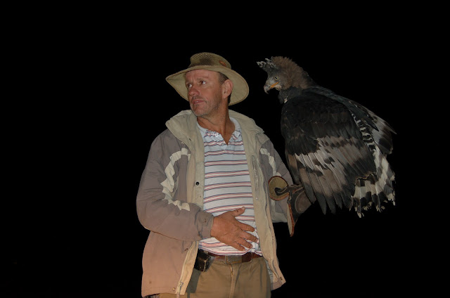 African eagle about to take flight during live show ...  |African Crowned Eagle Falconry