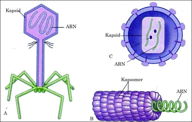 adalah parasit mikroskopik yang hanya dapat hidup dan bereproduksi dengan menginfeksi sel Struktur Tubuh dan Macam Macam Bentuk Virus + Gambar