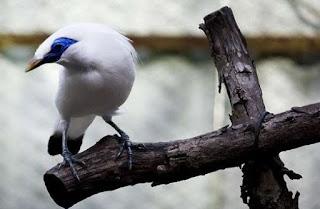 Foto Burung Jalak Bali Langka Mahal Daftar Harga Terbaru