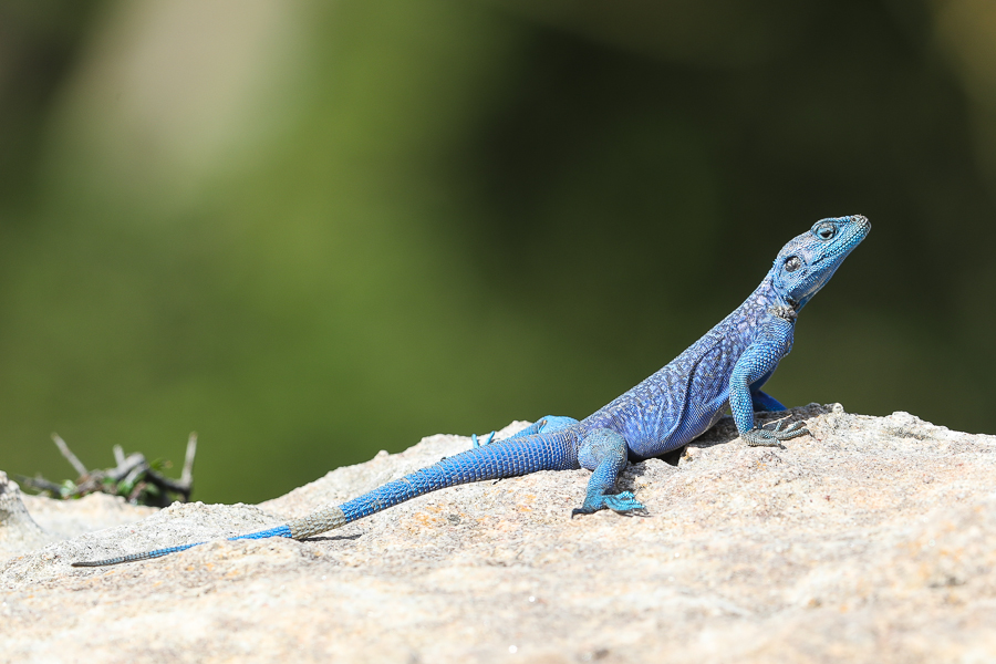Yemen Rock Agama at Al Mehfar Park – Thanoumah