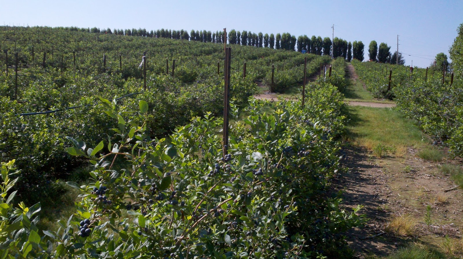 India soon to get a treat of Washington Blueberry   Earnest