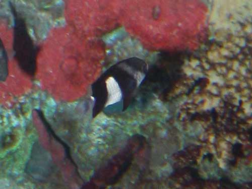 Three Stripe Damselfish