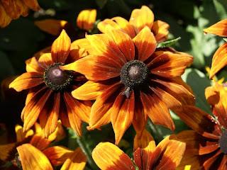 Rudbeckia hirta 'Autumn Colors'