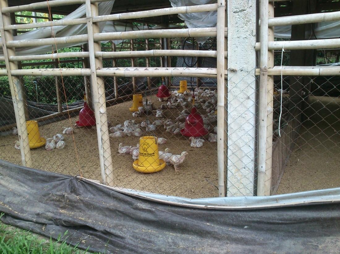 Manajemen Usaha Ayam Broiler Survey Mydokterhewan Vaksin Nd Ib 1000 Dosis Sekat Kandang