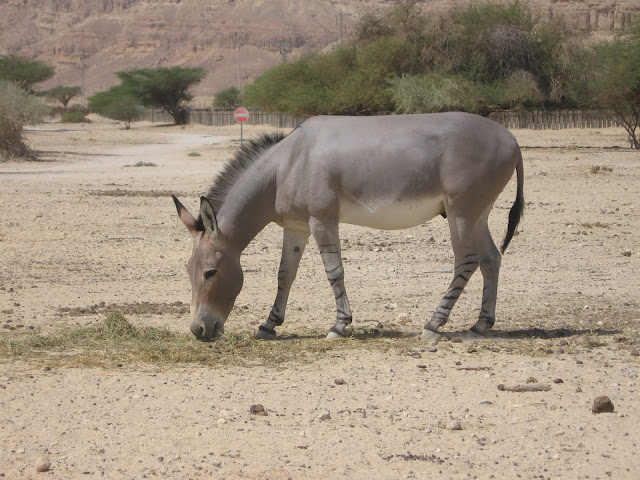 African Wild Ass facts and information 9