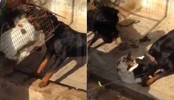 Marah ternakan diserang, lelaki Arab suap kucing pada 2 ekor anjing Rottweiler