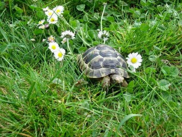 السلاحف البريه وكيفيه العنايه بها بالصور + فديو