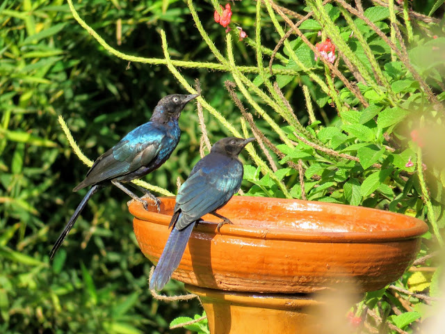 Uganda Garden birds: Rüppell's Long-Tailed Starling spotted in Entebbe