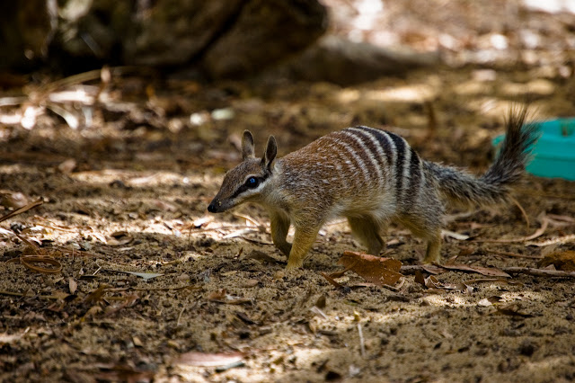 Do you know Numbat? See facts and information 9