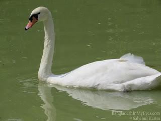 Mute_Swan