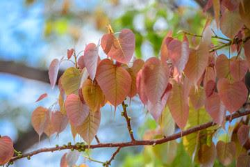 peepal -tree