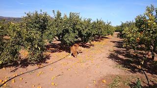 Apelsinblomshund undersöker fallfrukt