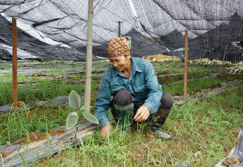 Bỏ lúa, ngô, nông dân Xuân Giang vui phơi phới với dược liệu sạ
