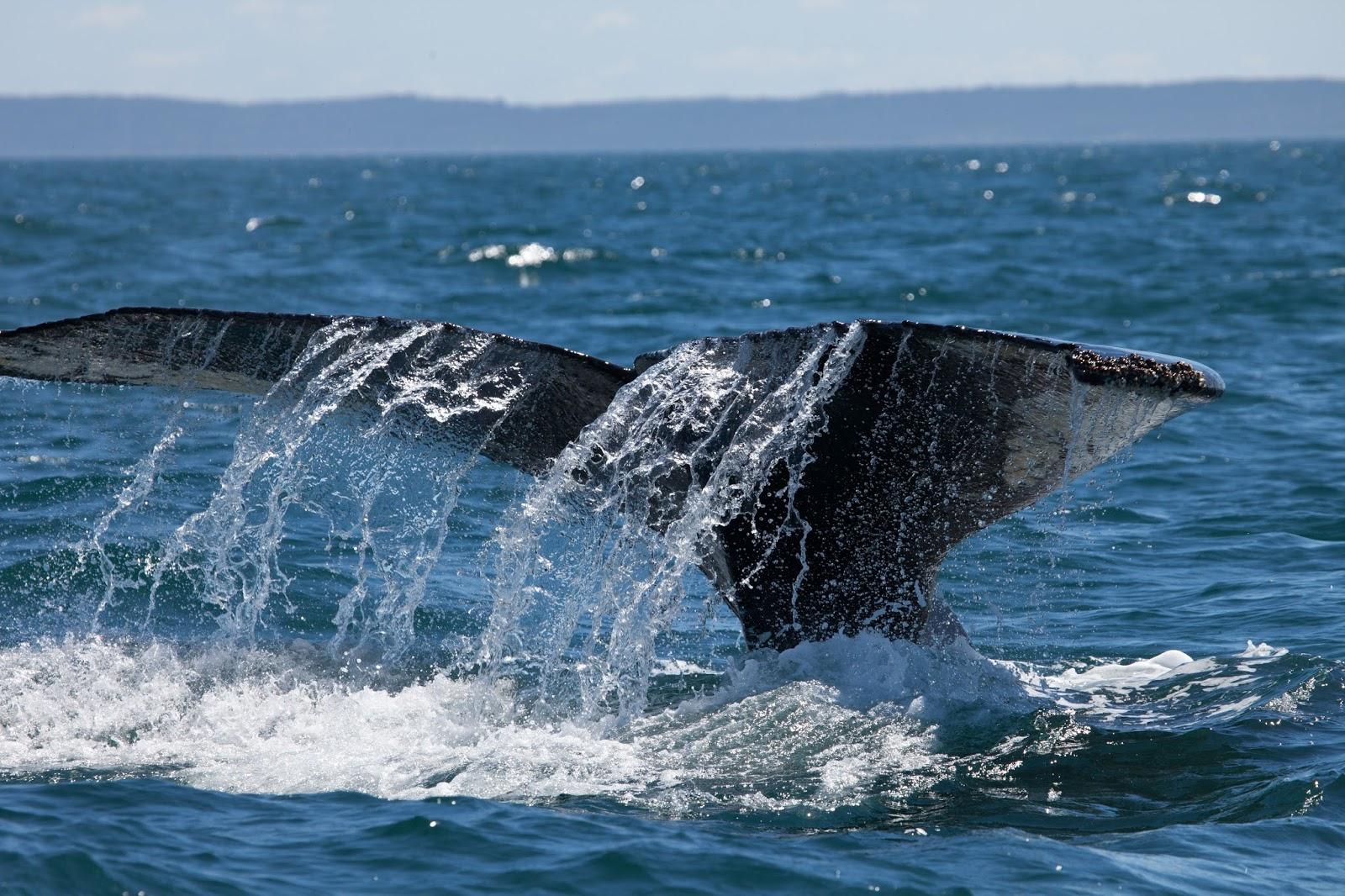 capturing the moment atlantic humpback whales off nova scotia canada