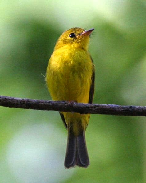Citrine Canary-flycatcher