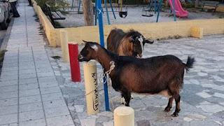 Ηράκλειο: Kατσίκα και τράγος «συνελήφθησαν» για... βανδαλισμό