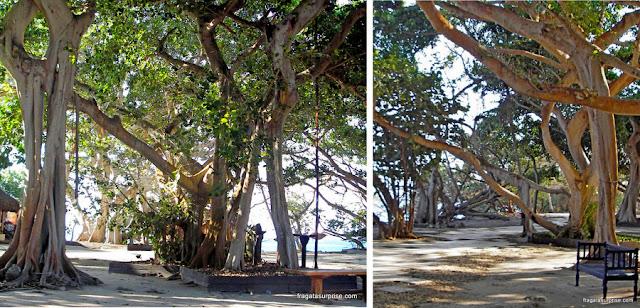 Majáguas, árvores típicas das Ilhas do Rosário, Colômbia