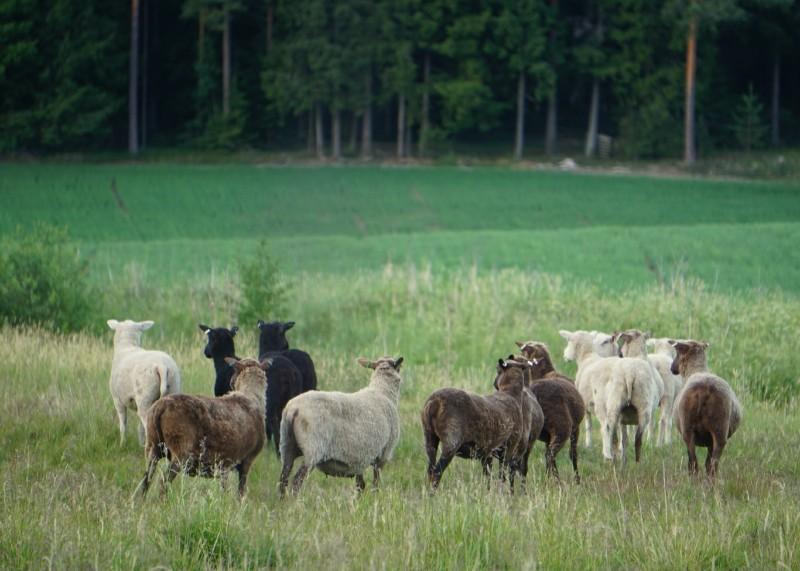 lammas, laidun, lammaslaidun