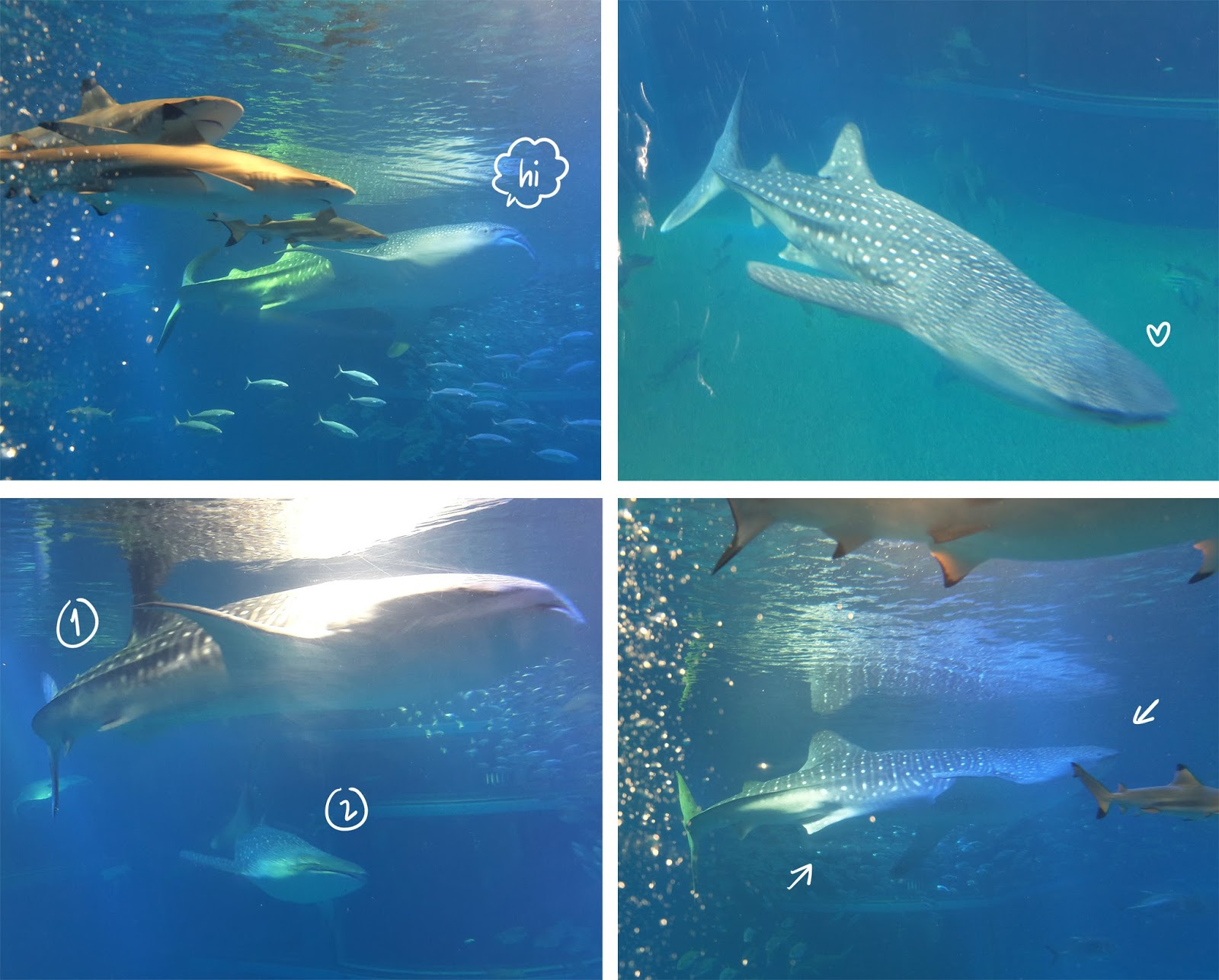 Osaka Aquarium Kaiyukan Whale Shark | www.bigdreamerblog.com