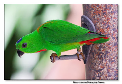 blue crown hanging parrot male