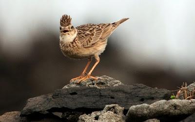 Cara Menjinakkan Burung Branjangan Muda Hutan Agar Cepat Berkicau Paling Akurat