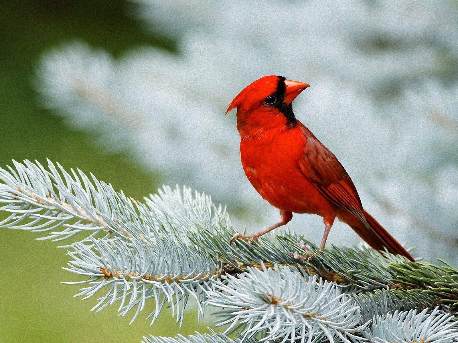 Northern Cardinal Habits