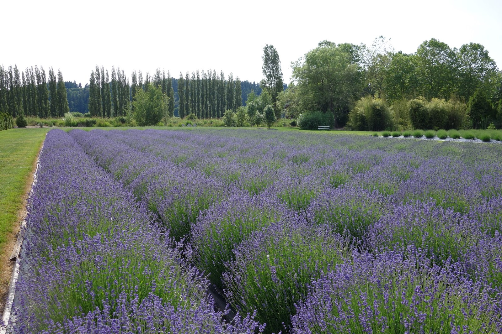 Moments of Delight   Anne Reeves: Seattle: Lavender Farm in Woodinville