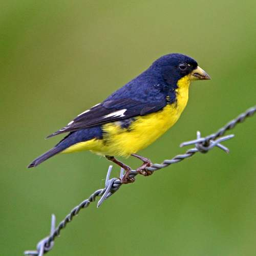 Lesser goldfinch images