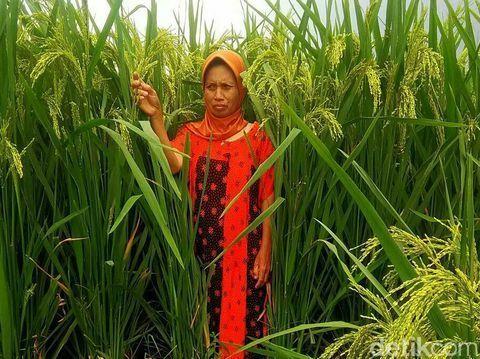 Asal Usul padi Raksasa yang Tumbuh di Blitar