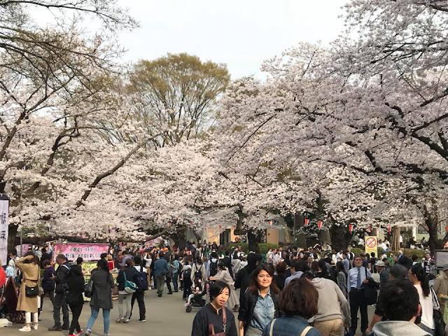 Cherry Blossom at Ueno Park