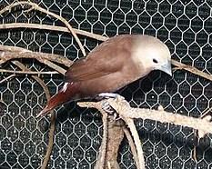 Burung Bondol Haji Betina
