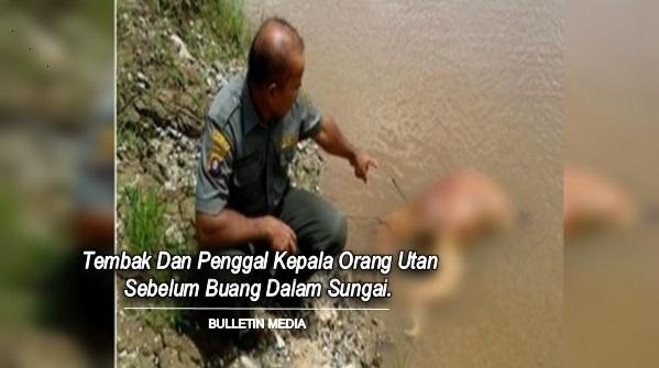 Tembak Dan Penggal Kepala Orang Utan Sebelum Buang Dalam Sungai