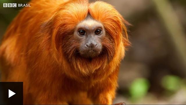 Sem macacos, humanos viram alvo principal de mosquitos da febre amarela