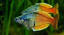 7 Ikan Hias Aquascape / Aquarium yang Kuat dan Tahan ...