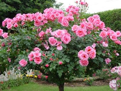 Cara Merawat Bunga Mawar Yang Baru Dibeli