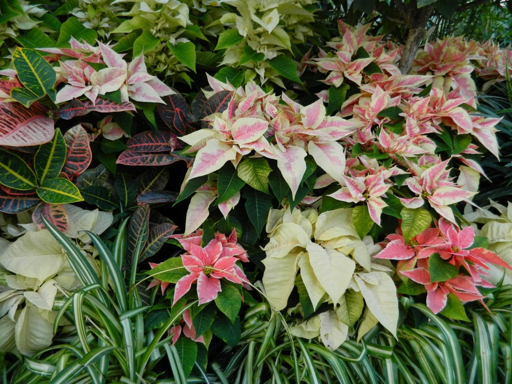 Pink cream poinsettias Allan Gardens Conservatory Christmas Flower Show 2014 by garden muses-not another Toronto gardening blog