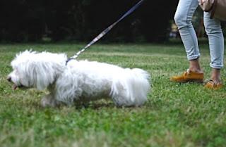 perro maltes caminando