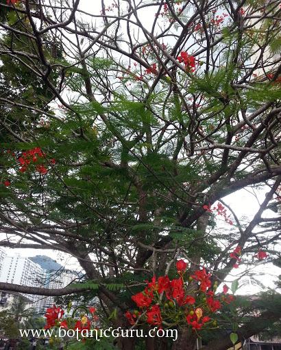 Delonix regia, Flamboyant, Royal Poinciana, Flame Tree