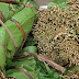 South Sudanese are the leading Miraa (KHAT) Chewers in Kakuma Refugee Camp.