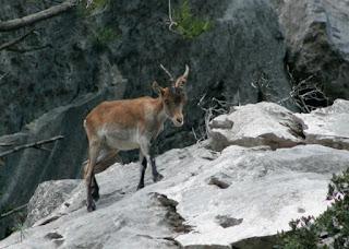 Juvenile male Spanish ibex. Picture taken at Reserva Nacional dels Ports de Beseit (Spain)